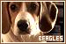 Dogs: Beagles: