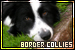 Dogs: Border Collies: